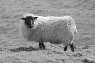 Beep beep move over sheep